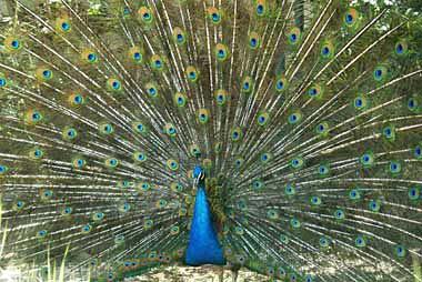 دم طاووس