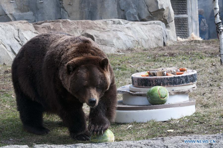 US Grizzly Bears 20th Birthdays Celebrated In Brookfield Zoo